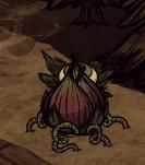 Lureplant-roots