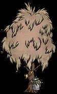 Sugarwood Tree Infested