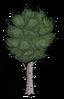 Birkennussbaum.png