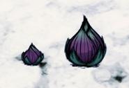 Fleshy Bulbs