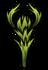 Pepper plant med