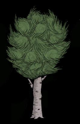 Cây Dẻ Bulô