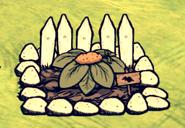 Сладкий картофель на улучшенной грядке