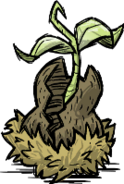 Орех узловатого дерева