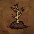 Zasadzony orzech brzozowy (RoG)