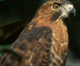 Jorge the Little Hawk Learns to Migrate!