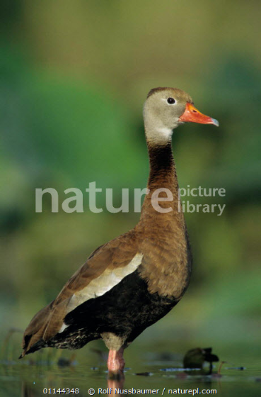 Willie the Whistling Duck