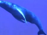 Diego Saves Baby Humpback Whale