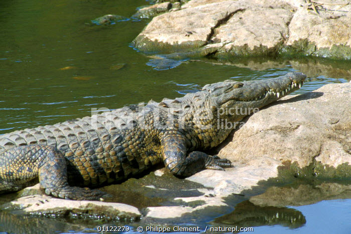 Alicia Saves The Crocodile