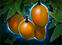 Mango Tree icon.png