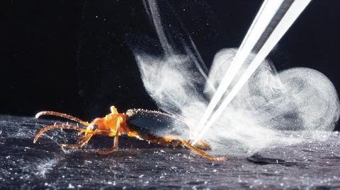 How bombardier beetles bomb