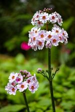 Roshiflowerprimrose.jpg