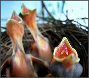Begging baby birds border.jpg