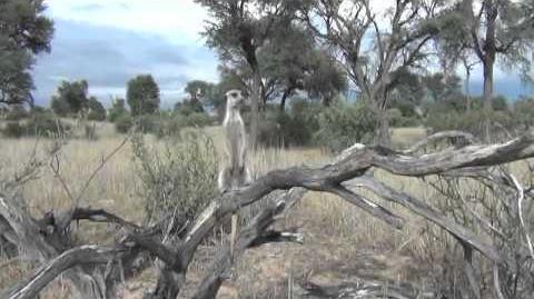 Research_suggests_meerkat_predator-scanning_behaviour_is_altruistic
