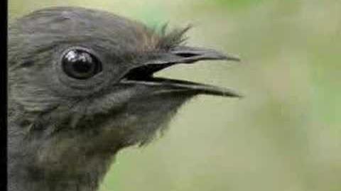 Amazing! Bird sounds from the lyre bird - David Attenborough - BBC wildlife-2