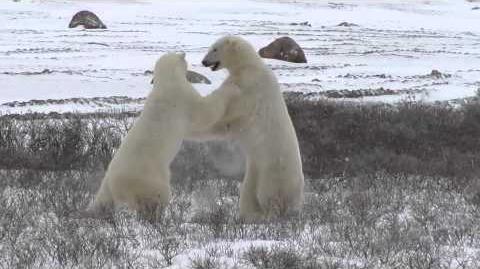 Polar_Bears_Sparring