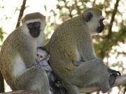Photo1 Albums Album1 Large PC074783 Vervet monkey with baby11-300x225.jpg