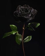 Black-rose-on-black-background-lauren-burke