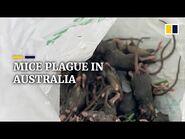 Mice plague overwhelms farmers in Australia