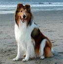 Lassie the Dog