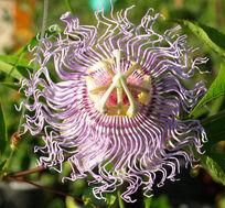 Passiflora incarnata flower.jpg