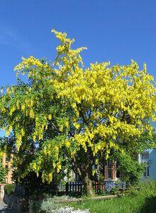 439px-Laburnum anagyroides flowering.jpg