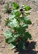 Hyoscyamus niger2 W