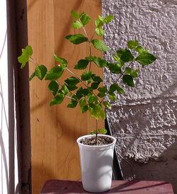 Calea ternifolia
