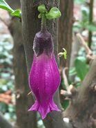 450px-Latua pubiflora Edinburgh cauliflory