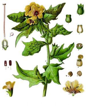 Hyoscyamus niger Illustration