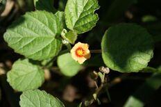 800px-Sida cordifolia top.jpg