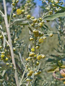 449px-Artemisia absinthium 0002.JPG