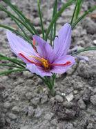 450px-Crocus sativus 02 by Line1