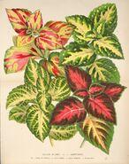 L'Illustration horticole (Plate 377)