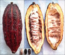 715px-Theobroma cacao - fruit, from inside, beans.jpg