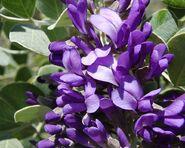 Calia secundiflora flowers