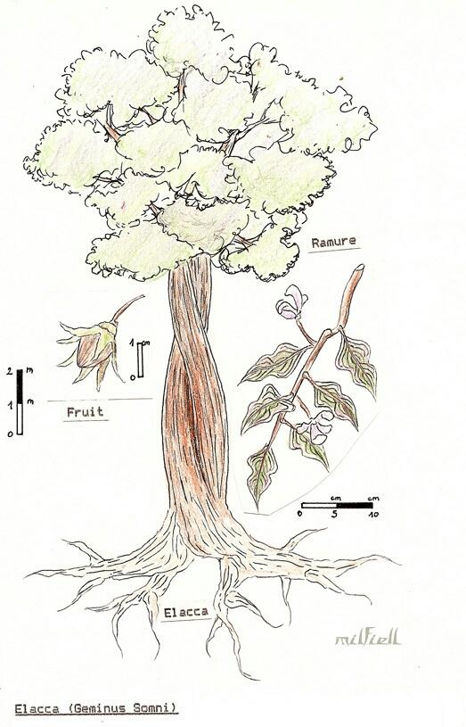 Elacca wood