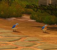Dwarrows bluebirds