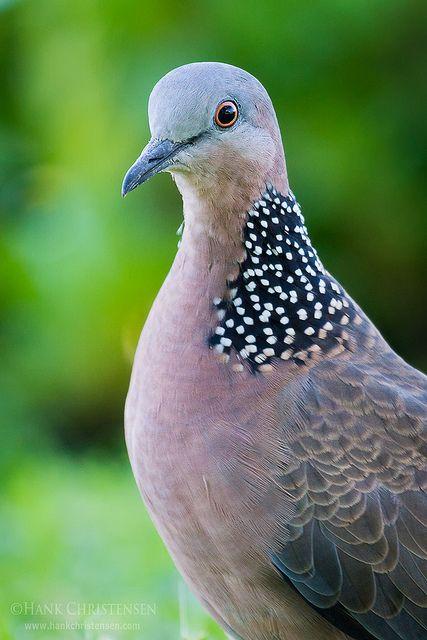 PigeonGuru