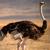 Ostrich1985