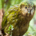 Kakapokid5