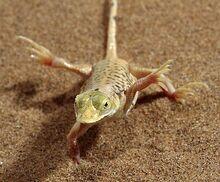 Namibia-lizard-pg 666821n.jpg
