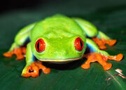 Red-eyed-tree-frog-facts-for-kids.jpg