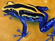 Poison-dart-tree-frog2-jpg