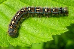 Forest tent caterpillar kt.jpg