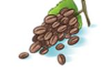 Grãos de café em cachos
