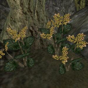 Золотой канет (растение) 01.jpg