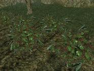 Комуника (растение) 01