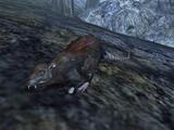 Szczur (Morrowind)