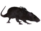 Крыса (Oblivion)